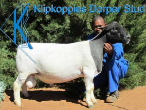 Upington Businesses | Klipkoppies Dorperstoet